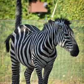 by Zeljko Kliska - Uncategorized All Uncategorized ( animals, zoo, nature, colors, zebra )