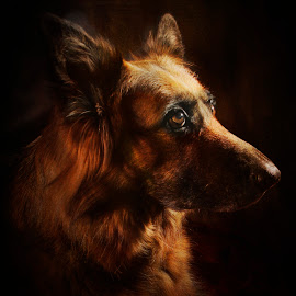 MAJESTIC by Wayne Brown - Animals - Dogs Portraits ( shepherd, german, bitch, dog, long, hair, portrait )