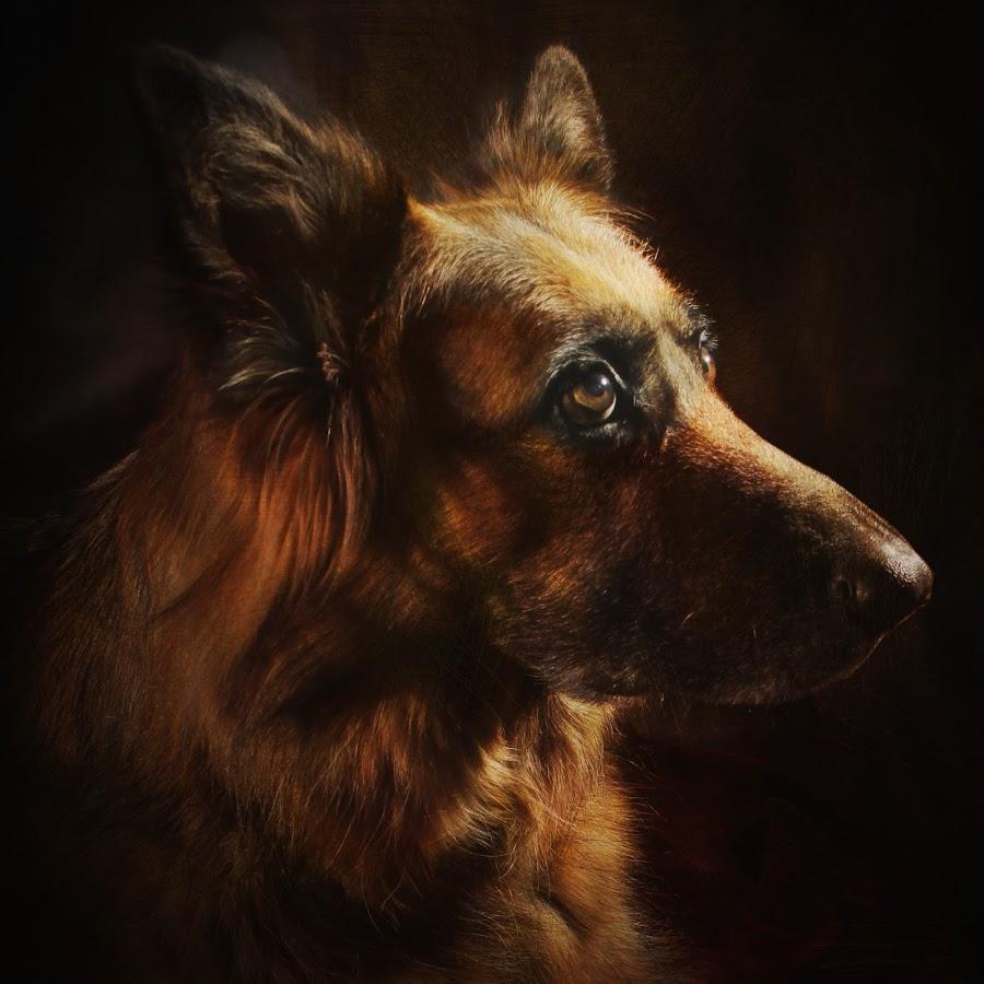 MAJESTIC by Wayne Brown - Animals - Dogs Portraits ( shepherd, german, bitch, dog, long, hair, portrait )
