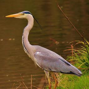 Grey heron by Suzanna Nagy - Animals Birds