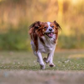 Sundown Glee by Colin Harley - Animals - Dogs Running ( d750, kooikerhondje, sunrise, happy, kooiker, sun, eyes, summer, nikon, nikkor, colour, glee, 200-500mm, grass, sunset, glad, sunny, dog )