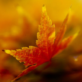 Glory of fall by Efraim van der Walt - Nature Up Close Leaves & Grasses ( macrophotography, fall, makro herfsblare, yellow, leaves )