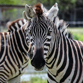 by Maria Medina - Animals Other ( zebra )