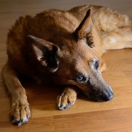 Depression by Jeff Tomchak - Animals - Dogs Portraits ( indiana, dogs )