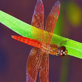 Dragonfly on a leaf by Francois Wolfaardt - Animals Insects & Spiders ( red, nature, wings, green, leaf, insect, dragonfly, close up )