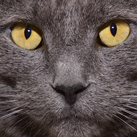 Vled by Michael Cowan - Animals - Cats Portraits (  )
