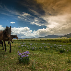 STORM IS COMING by Liam Vo - Landscapes Prairies, Meadows & Fields ( mustang, sunset, wildflower, colorado, storm )
