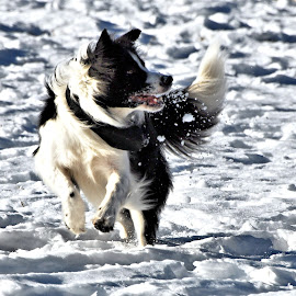 Gimme the Snow by Don Mann - Animals - Dogs Playing ( dogs, photograph, photographs, don, colorful, pup, pictures, north, vibrant, digital, pretty, photography, playing, puppies, southern, nature, digital art, dark, photographer, east, bc, light, british columbia, doggie, canada, beautiful, play, image, photo, portrait, canine, northern, picture, photos, color, peachland, fido, canadian, south, images, puppy, mann, dog, natural, west,  )
