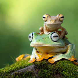 Together enjoying the view by Kurito Afsheen - Animals Amphibians ( canon, macro, indonesia, tree frog, frogs, amphibians, animal )