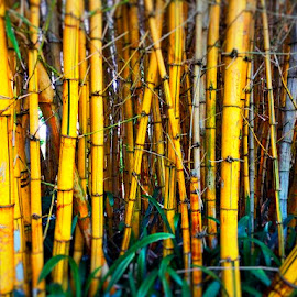 Bamboo by Luke LeBlanc - Novices Only Flowers & Plants ( bamboo, grass, green, gardens, yellow,  )