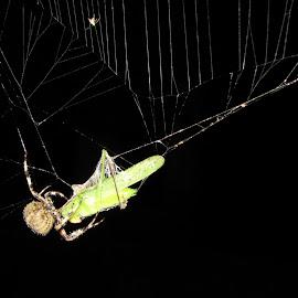 Spider eats grasshoper by Terry Bernardo - Nature Up Close Webs ( grasshoper, spiders, spiderweb, spider, spider web, grasshopper,  )