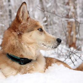 Winter Wonderland by Kevin Taylor - Animals - Dogs Portraits ( dog winter snow nature beautiful )