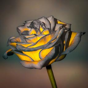 Rose-2 by Gene Brumer - Flowers Single Flower ( rose, color, colors, flowers, floral )