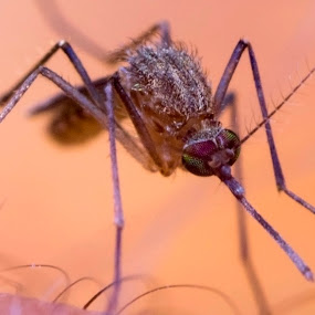 Closeup of mosquito  by Basant Malviya - Animals Insects & Spiders ( macro, closeup, insect, mosquito,  )