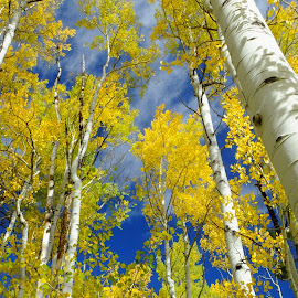 Looking Up by Marko Ginsberg - Nature Up Close Leaves & Grasses ( aspen grove, fall, fall color )