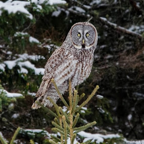 Great grey owl by Chris Pepper - Animals Birds