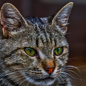 behind the green eyes by Gokhan Bayraktar - Animals - Cats Portraits ( animalcats )