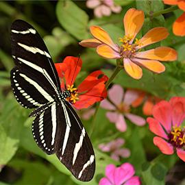 Garden beauty by Raymond Earl Eckert - Animals Insects & Spiders ( butterfly; zebra; zinnia; swallowtail; garden,  )
