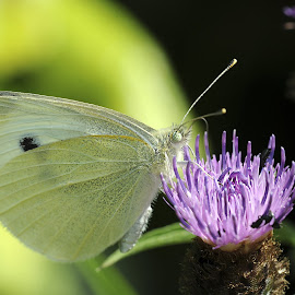 Large White by David Wilson - Animals Insects & Spiders ( butterfly, thistle, macro photography, white, close up,  )