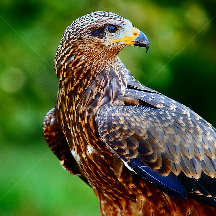 Le regard de l'aigle by Gérard CHATENET - Animals Birds