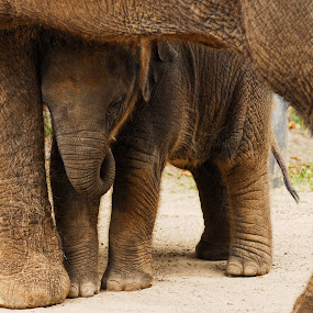 True Love by Peter Cannon - Animals Other ( canon, animals, elephant, australia, wildlife, baby )