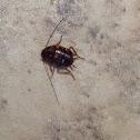Australian Cockroach ( Nymph )