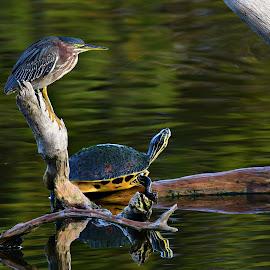 Green Heron & Turtle Sunning by Ruth Overmyer - Animals Birds (  )