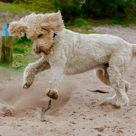 Golden Doodle  by Jenny Trigg - Animals - Dogs Playing ( playing, sand, fetch, labradoodle, sticks, dog, running, golden retriever )