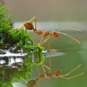 ReflectiANT #4 by Teguh Santosa - Animals Insects & Spiders ( macro )
