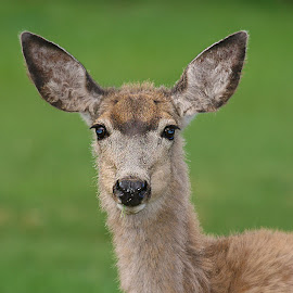 Female mule deer by Gérard CHATENET - Animals Other Mammals