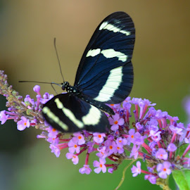 Butterfly Gardens by Kristen Dickens - Novices Only Macro ( butterfly, flowers, pretty )