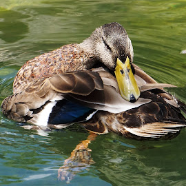 Just Duckin Around by Alycia Marshall-Steen - Animals Birds ( feathered friends, duck water, duck photography, duck, duck pruning )