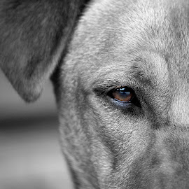 Brown Eyes by Angela Atherton - Animals - Dogs Portraits (  )
