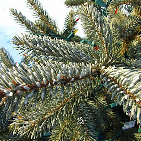 Frosty Pine by Diane Butler - Public Holidays Christmas ( lights, tree, christmas, pine, frosty )