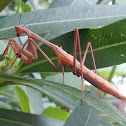 False Garden Mantid
