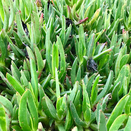 Sdot Yam by Rebecca Popelars Turner - Nature Up Close Other plants