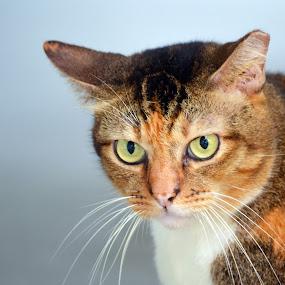 by Kelvin Đào - Animals - Cats Portraits ( look, face, orange, cat, eyes )