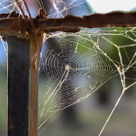 My Spider Web :) by Francisco Luis Pires - Nature Up Close Webs ( webs, webbing, spiderweb, web, spider, spider web )