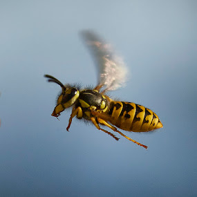 Wasp in flight by Fokion Zissiadis - Animals Insects & Spiders (  )