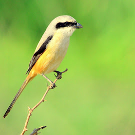 Long tailed Shrike by Manoj Kulkarni - Animals Birds ( bird, nature )