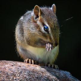 Chipmunk by Dave Lipchen - Animals Other Mammals ( chipmunk )