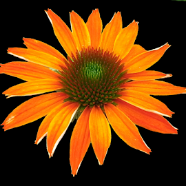 Orange Daisy  by Darrell Tenpenny - Digital Art Things (  )