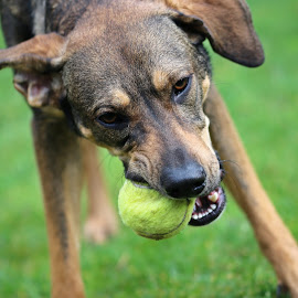 Mira playing ball by Carola Mellentin - Animals - Dogs Playing (  )