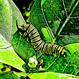 1st Monarch Caterpillar in the Garden this year by Anne LiConti - Instagram & Mobile Android ( #mobilephotography, #phonephoto, #mobile, #mobilephoto, #instagram, #monarchbutterflycaterpillar, #android, #phonephotography )