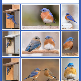 Bluebirds by Jack Nevitt - Typography Captioned Photos ( bluebird, winter, snow, fall, poster, box, eastern, spring )
