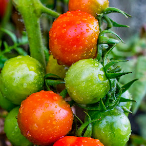 Kamuela Tomato Bunch by Nicolas Los Baños - Nature Up Close Gardens & Produce ( vegan, fruit, tomato, pwcvegetablegarden, healthy, vegetarian, vegetable, kamuela, garden, hawaii,  )