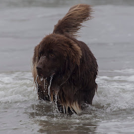 In The Water by Janet Marsh - Animals - Dogs Playing ( newfoundland, dogsurf, dog )