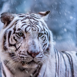 Snow tiger by Mauritz Janeke - Animals Lions, Tigers & Big Cats ( hunter, big cats, siberian tiger, tiger, uae, snow tiger, mauritz, tigers,  )