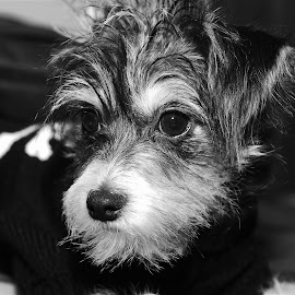 Frankie5 by Frank Beaudoin - Animals - Dogs Puppies ( breed, b&w, poodle, black & white, puppy, smalll, terrier, dog, chihuahua )