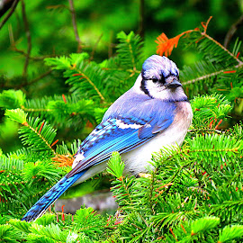 Blue Jay by Judy Brewer - Animals Birds